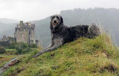 Deerhound Dogs of Scotland Big Dogs, Cute Dogs, Dogs And Puppies, Doggies, Irish Wolfhound Dogs, Scottish Deerhound, Mundo Animal, Beautiful Dogs, Beautiful Sites