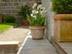 Tulips in a terracotta pot