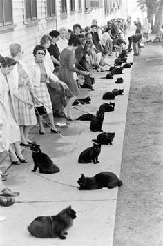 Dozens of black cats waiting for their turn in a Hollywood casting. 1961