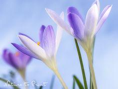 Frühlingsbild zartlila Krokus im frühmorgens vor Himmelblau