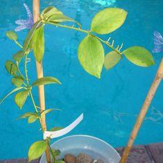 Hoya eitapensis $$$$ IML 0298 Hoya eitapensis - $24.00 : Hoya Plants and Cuttings