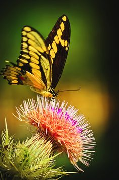 butterfly thistle