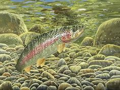 Rainbow Trout Pictures Free | Rainbow Trout FishPaintings