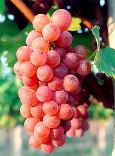 Fringe Wine: Sauvignon Gris, or why are some grapes pink? - Maipo Valley, Chile