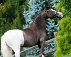 Unusual coloring horse! Soo Wonderful and gorgeous. Withe tail and brown mane; beautiful blue eyes.  Maybe, this is a splashed horse