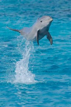 Day Baby Dolphins - Jumping Baby Bottlenose Dolphin in Curacao Water Animals, Animals And Pets, Baby Animals, Strange Animals, Photo Dauphin, Dolphin Images, Baby Dolphins, Especie Animal, Cutest Animals