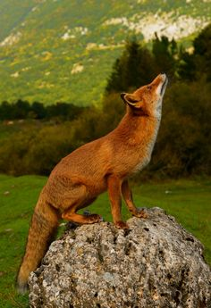 A fox (Vulpes vulpes) in the Parco Nazionale d'Abruzzo by marco branchi on 500px