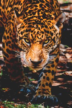 Spotty Jaguar