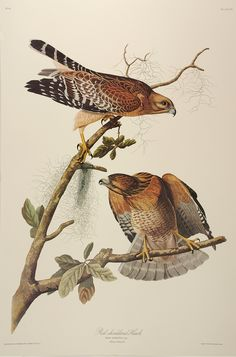 "Plate 56 Red Shouldered Hawk from ""Birds of America"" by John James Audubon Prints Princeton Audubon Limited Edition for sale Illustration Botanique, Bird Illustration, Botanical Illustration, Illustrations, Audubon Prints, Audubon Birds, Nature Prints, Bird Prints, Birds Of America"