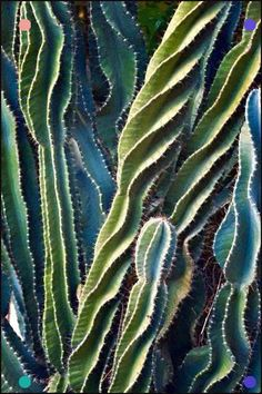 this cactus shows both texture and line. I would say that this cactus has line vs pattern because of the flow it has and texture because it appears to be soft and fuzzy but in reality it is very spiky Cactus Planta, Cactus Y Suculentas, Patterns In Nature, Textures Patterns, Beautiful Patterns, Beautiful Flowers, Cactus Flower, Cactus Cactus, Indoor Cactus