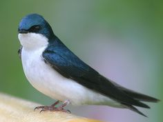 Birds: Chimney Swift