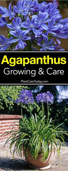 flower garden care The Agapanthus plant, also known as the Blue Lily-of-the-Nile or African lily plant, displays striking blue flowers on tall and slender stalks. [LEARN MORE] Agapanthus In Pots, Outdoor Plants, Garden Plants, African Lily, Flower Garden Plans, Order Flowers Online, Garden Care, Gardening, Succulents