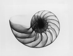 X-ray Nautilus Shell Photograph by Edward Charles Le Grice