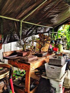 Dwarf Jade Bonsai Techniques – Adam's Art and Bonsai Blog Bonsai Pruning, Bonsai Soil, Bonsai Garden, Bonsai Tree Care, Bonsai Trees, Jade Bonsai, Jade Plants, Miniature Trees, How To Grow Taller