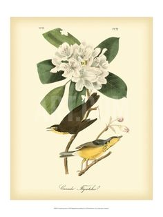 Canada Flycatcher Art Print by John James Audubon at Art.com