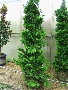 Wells Special Hinoki Cypress - I think this is the exact variety for the front corners of the house Evergreen Trees Landscaping, Front House Landscaping, Evergreen Landscape, Landscaping Shrubs, Evergreen Garden, Lawn And Landscape, Garden Shrubs, Evergreen Shrubs, House Landscape