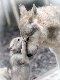 Coyotes, Tmnt, Baby Animals, Cute Animals, Animal Babies, Wolf Pup, Husky, Fox, Doggies