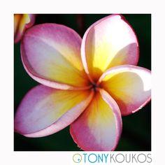 flower, vibrant, colour, colourful, petals, texture, nature, bud, Thailand, islands, pink, fuchsia, yellow, travel, art, photography, Tony Koukos, Koukos, EXO009C-C