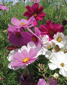Cosmos bipinnatus - Candy Land by Live Mulch #cosmos #pink cosmos