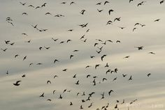 flock of birds - Google Search