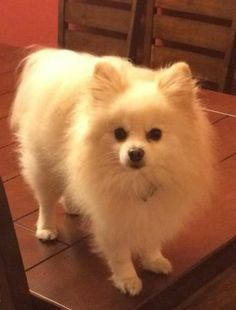 RESEDA, CA - LOST DOG: $5,000 Reward:  Beethoven. He is a 5 year old blond hair Pomeranian. He is about 5 pounds and he got out of our back yard at Tampa ave and Hart st. He did not have a collar on but did have a bandana on around his neck. In the reseda area. On March 24th 2014 around 2:00 PM. We are offering a cash reward for his safe return no questions asked. If you know anything please call me at 818-298-4881 ask for Taylor. http://losangeles.craigslist.org/sfv/pet/4493627758.html