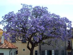"""I would love to have this tree in my yard ♥    """"Royal Empress Tree...grows 15-18 ft./year. Explodes with rich lavender flowers that look like Orchids but smell like Jasmine. Grows as far north as Canada and as far south as Mexico."""