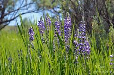 Wyoming Wildflower - Lupine