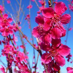 Prunus Mume Beni-Chidori Tree flowering apricot for tubs