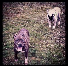 Smallz and her Boyfriend Sid #Pitbull #AmericanBullDog #Dog #Happiness