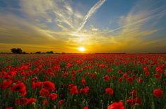 #clouds #horizon #landscape #nature #poppies #poppy field #red #sky #sun #sunrise #sunset