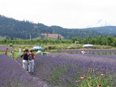 Plein air artists getting ready to paint some lavender.#lavenderfarm #hoodriver #organic #oregon #pleinair #art #garden