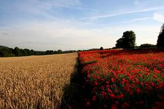 Colorful Photos of Fields - Field of red by Linda Cronin