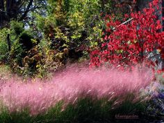 pink muhly grass, fall foliage dogwood-Fairegarden