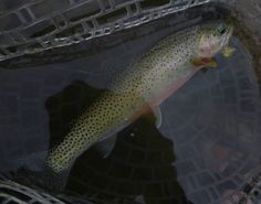 %TITTLE%-  It was the only time I've ever caught a fish by accident, with my teeth. I was knee deep in the Middle Fork of the Flathead River in Montana's Bob Marshall Wilderness Complex. This river is the Grandmother of America's Wild and Scenic River System, and was living up to its reputation. My two...-https://losporcos.com/the-middle-fork-flathead-the-source-of-wild-and-scenic-river-act.html