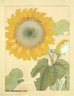 Untitled Japanese woodcut of a Sunflower - offered by Old Imprints
