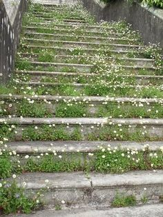 erigeron growing up the original entry staircase into the house... nature reclaiming
