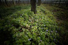 Ein bisschen Frühling in den Weinbergen
