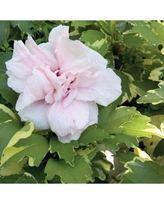 0101e9302eb7b2b3b1989b95675186b5 - Sugar Tip Rose of Sharon (Hibiscus) Live Shrub, L…