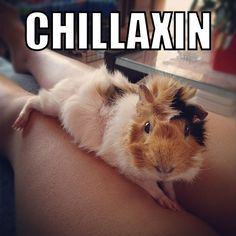 LIKE if you'd LOVE to hang out with this cutie...☺☺☺  The Best Guinea Pig Food Delivered Fresh to your door!  Click ❤ http://shop.smallpetselect.com/ ❤  FbookFriends: Use code ✔softNgreen✔ For Free Shipping  http://www.pinterest.com/pin/188869778096527911/