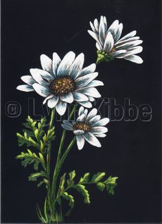 Daisies4, scratchboard (available)