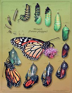 Monarch Watch - Monarch Life Cycle Poster #113215