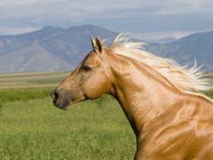 Palomino Quarter Horse Stallion, Head Profile, Longmont, Colorado, USA Prints by Carol Walker at AllPosters.com