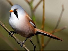 Bearded Reedling (Panurus biarmicus) is a small bird living in large reed beds by lakes and swamps of Asia and temperate Europe. Only males have the fu manchu mustache. Females are dull brown.