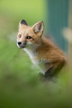 Red Fox Cub by Justin Russo - National Geographic Your Shot