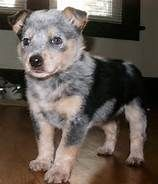 cattle dogs rule - Bing Images