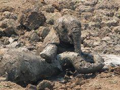 Una femmina di elefante africano e il suo piccolo affondano nel fango sotto gli occhi di altri componenti del branco all'inizio di novembre nella valle di Luangwa, nello Zambia.    I due elefanti sono stati salvati da una squadra di soccorso dopo due ore di lotta contro il caldo, la disidratazione e il fango che seccava rapidamente.