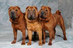 Shar Pei Fever, Boston Terrier, Black Tongue, Mans Best Friend, Dog Days, Dog Lovers, Cute Animals, Puppies, Pets