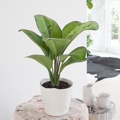 Check out our easy-care, pet-friendly, low-light and unusual houseplants. Backyard House, Rubber Plant, Plant Lighting, Peace Lily, Large Plants, Plant Sale, Plant Needs, Low Lights, Skin Treatments
