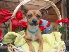 A1392611 is in danger at East Valley is an adoptable Chihuahua Dog in Beverly Hills, CA. JASMINE - ID#A1392611 My name is Jasmine and I am an unaltered female, brown Chihuahua - Smooth Coated. The she...