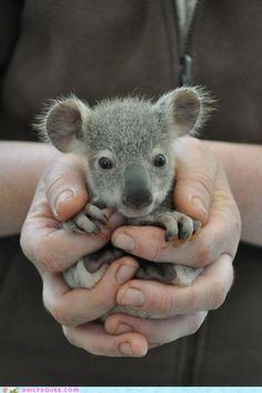Baby koala! Hand it over and no one gets hurt. I'd take it to class in my backpack every single day. #evil #Bad #NSFW